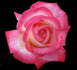 tea-rose-transparent-isolated (1)